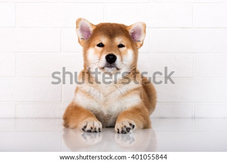 shiba inu puppy lying down - stock photo
