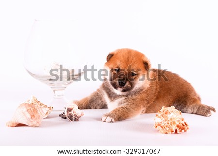 Shiba Inu puppy lying on a white background