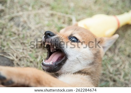 shiba inu puppy playing - selective focus