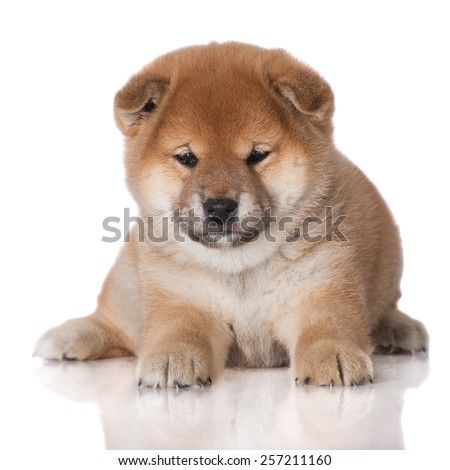 shiba inu puppy portrait - stock photo