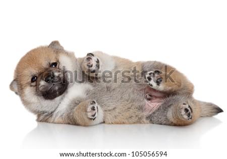 Shiba Inu puppy resting on white background - stock photo