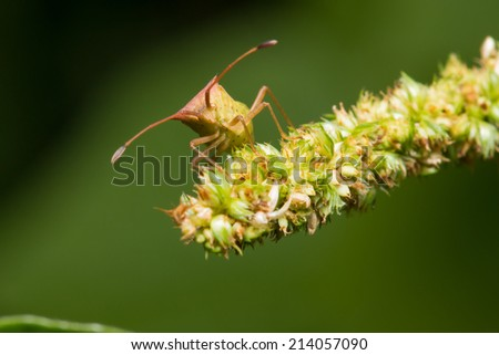 Shield bug, also known as stink bug on a plant - stock photo