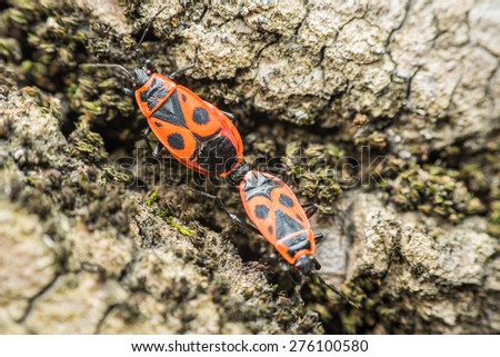 Shield Bug (Graphosoma Lineatum) Mating Close Up - stock photo