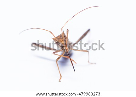 Shield bug on white background