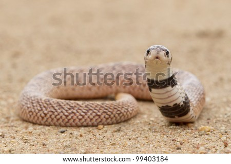Shield nose snake (Aspidelaps scutatus), South Africa - stock photo