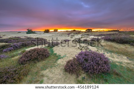 Shifting sands and Heath (Calluna vulgaris) in national park de Hoge Veluwe around sunset under a clouded sky in August