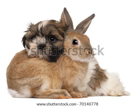 Shih-Tzu and rabbit in front of white background - stock photo