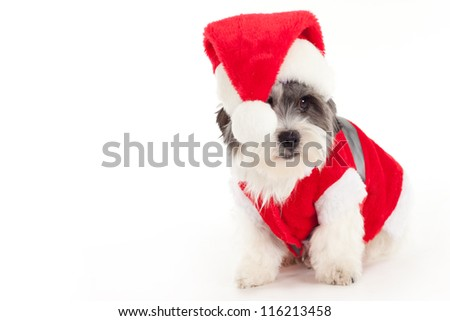 Shih Tzu cross with a Christmas hat