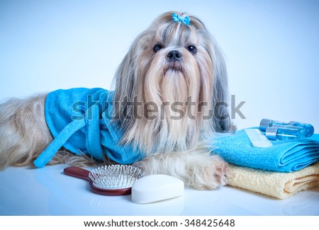 Shih tzu dog after washing. With bathrobe, towels and comb. Soft blue background tint. - stock photo