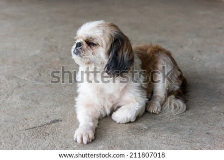 Shih tzu dog are sleepy - stock photo