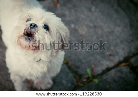 Shih Tzu Dog Barking - stock photo