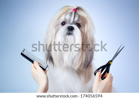 Shih tzu dog grooming. On blue and white background. - stock photo