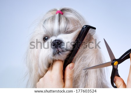 Shih tzu dog grooming with comb and scissors. - stock photo