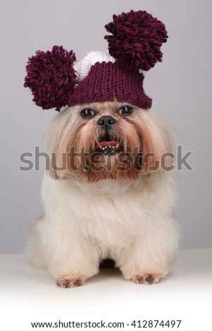 Shih Tzu dog in a knitting hat with pompoms
