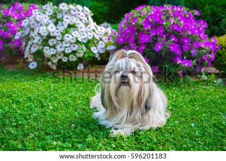 Shih Tzu Dog In Garden With Flowers On Green Grass