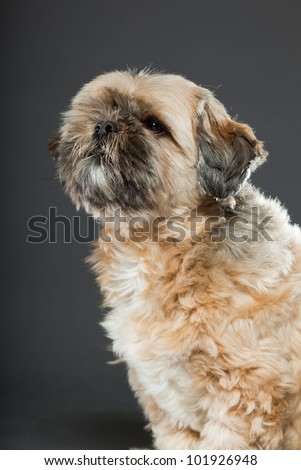 Shih tzu dog isolated on dark grey background. Studio portrait. - stock photo