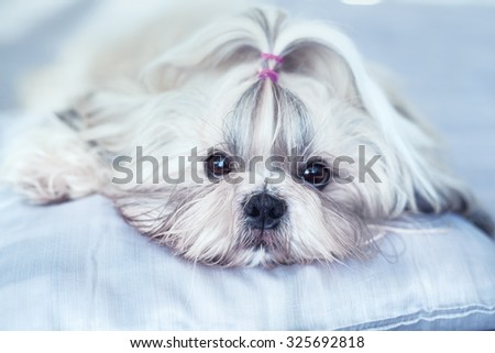 Shih tzu dog lying on bed. Bright white colors. - stock photo