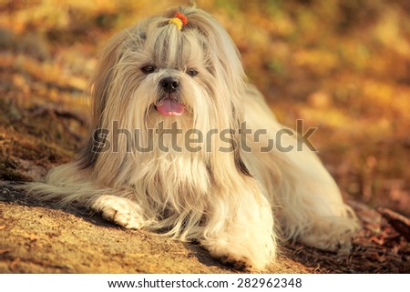 Shih-tzu dog lying on ground portrait. Sunset golden colors. - stock photo