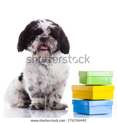 Shih tzu dog on white background - stock photo