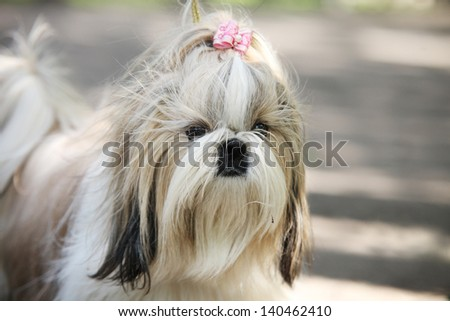 Shih Tzu Dog portrait - stock photo