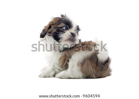 shih tzu dog puppie isolated on a white background