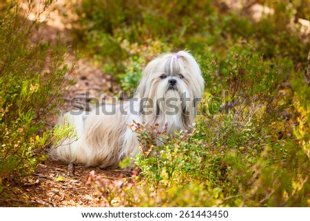 Shih-tzu dog sitting on path on forest - stock photo