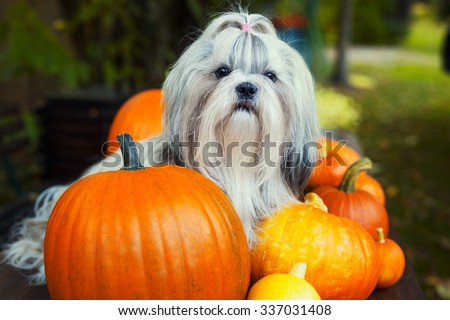Shih tzu dog sitting on table with pumpkins. - stock photo