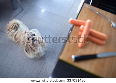 Shih tzu dog standing in kitchen and looking on board with sausages. Want to steal it. Focus on dog. - stock photo