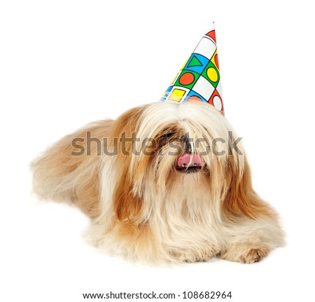 Shih tzu dog wearing a party hat in studio on white background