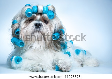 Shih tzu dog with curlers - stock photo