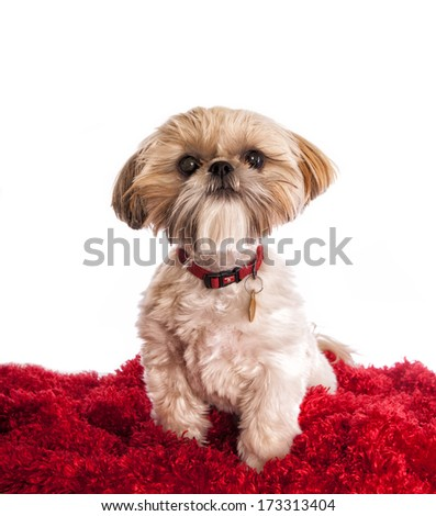 Shih tzu dog with funny hair cut on red and white background - stock photo