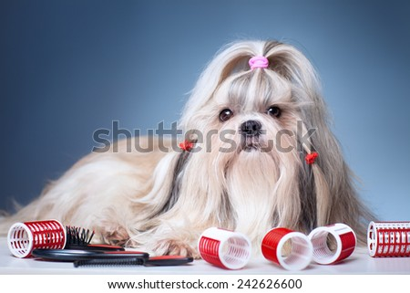 Shih tzu dog with red curlers grooming on blue background. - stock photo