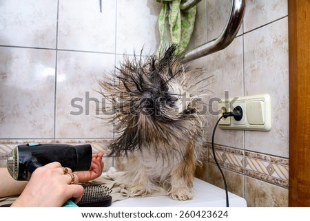 Shih Tzu. Drying with a hair dryer Wet dog in bathroom. Wet, Long fur dog. Owner is grooming the fur of retriever puppy after shower. Point Of view. POV - stock photo