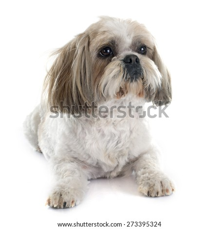Shih Tzu in front of white background - stock photo