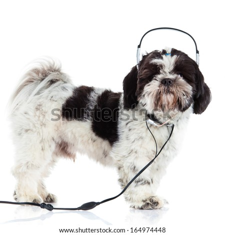 Shih tzu isolated on white background dog and headphone - stock photo