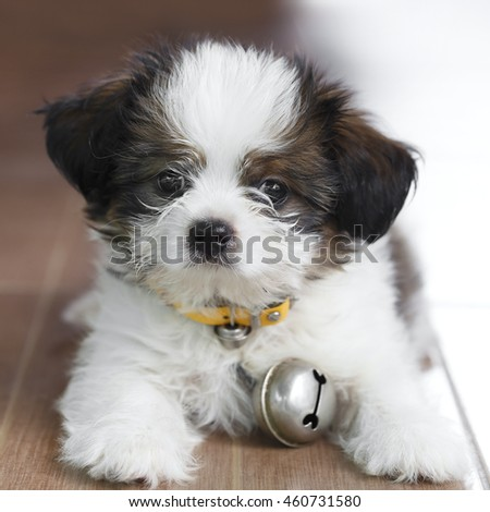 Shih Tzu lying on the floor looking at the front