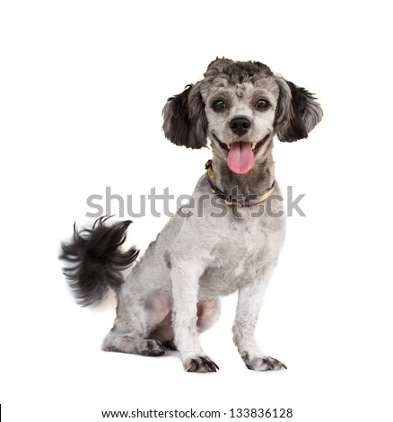 Shih tzu poodle mixed sitting on white background - stock photo