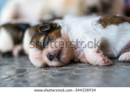 Shih Tzu puppies - stock photo