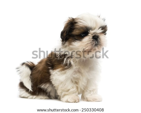 Shih Tzu puppy - stock photo