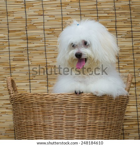 Shih tzu puppy breed tiny dog in basket with japan mat background
