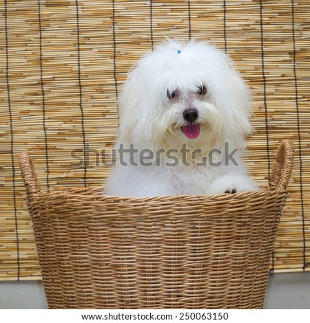 Shih tzu puppy breed tiny dog in basket with japan mat background - stock photo
