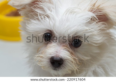 Shih-tzu puppy breed tiny dog , playfulness , loveliness - stock photo
