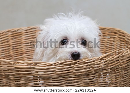 Shih tzu puppy breed tiny dog , playfulness , loveliness - stock photo