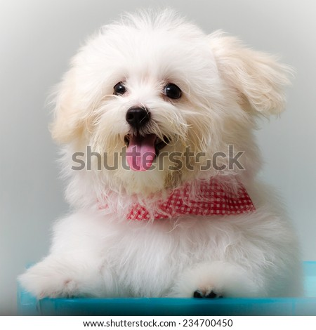 Shih tzu puppy breed tiny dog , playfulness , loveliness - stock photo