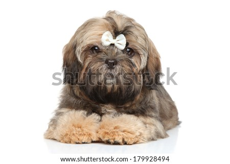 Shih tzu puppy in white bow posing on a white background - stock photo