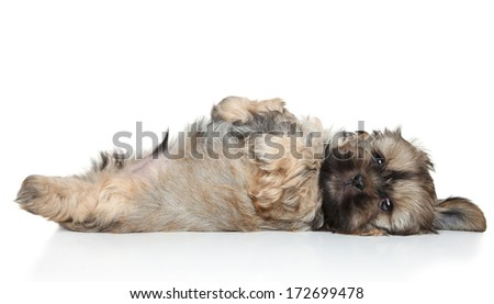 Shih Tzu puppy resting on white background - stock photo