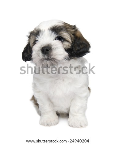 Shih Tzu puppy (7 weeks) in front of a white background