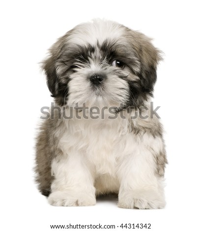 Shih tzu puppy, 9 weeks old, sitting in front of white background - stock photo