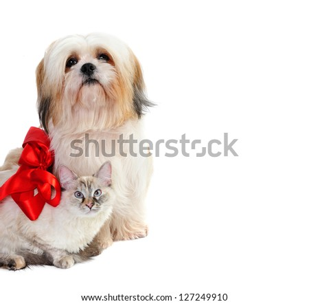 Shih tzu wearing red bow in hair with a cat  on white background