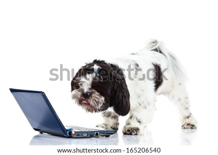 Shih tzu with computer  isolated on white background dog - stock photo